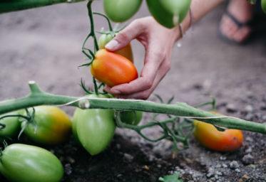 Fotoreportage Adamah Biohof @ Wolfgang Lehner, bei der Tomatenernte
